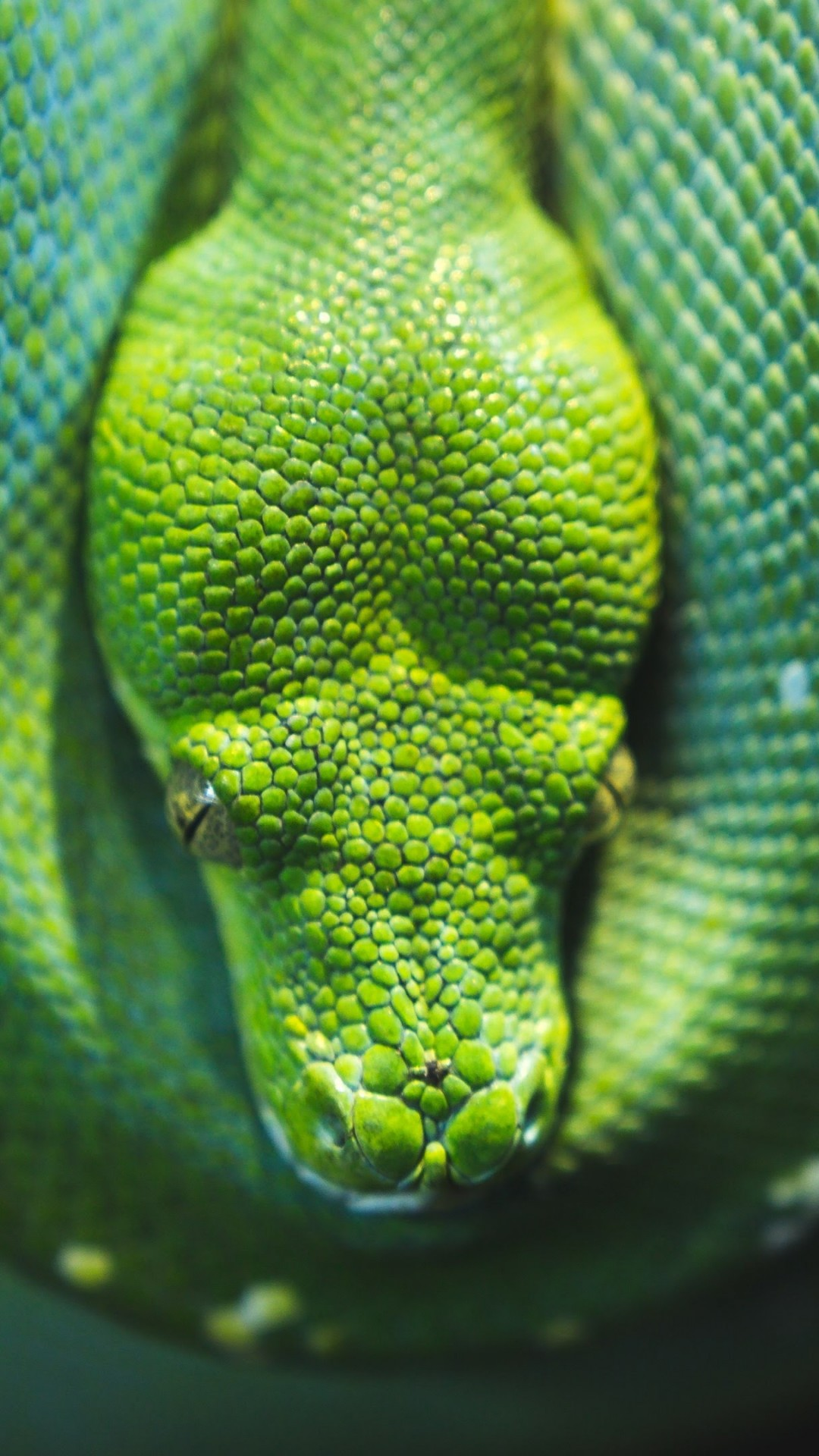 Green Tree Python Snake Hd Wallpaper For Desktop And Mobiles IPhone
