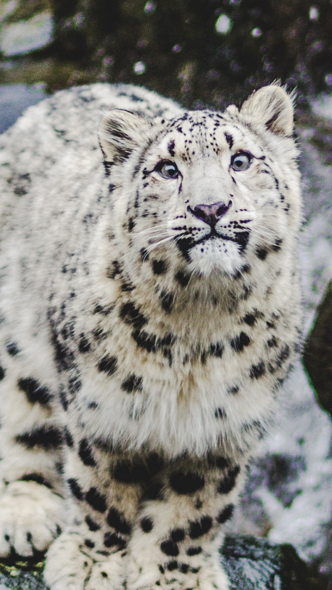 Snow Leopard Smiling Hd Wallpaper Iphone 6 6s Plus Hd