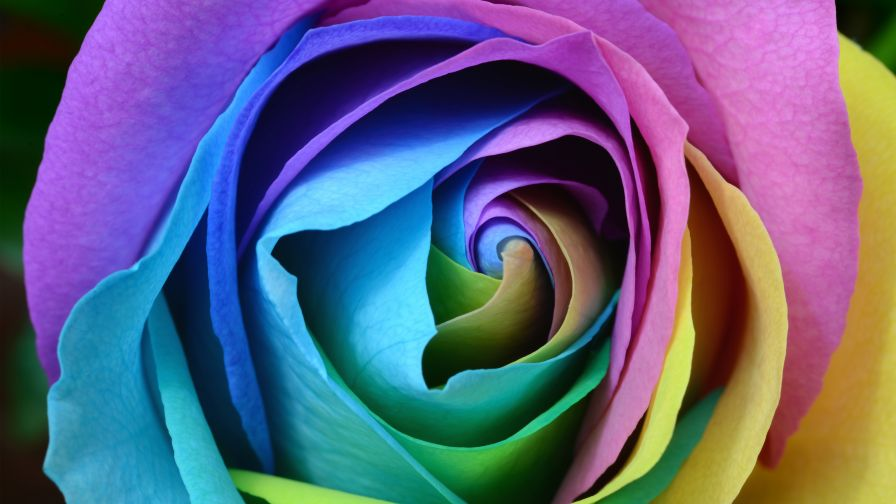 Download Free HD Beautiful Rose Flower Wallpaper
