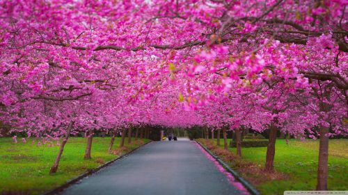 Pink Trees in the Springtime