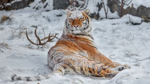 Siberian tiger HD Wallpaper