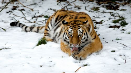Tiger lying at the snow HD Wallpaper