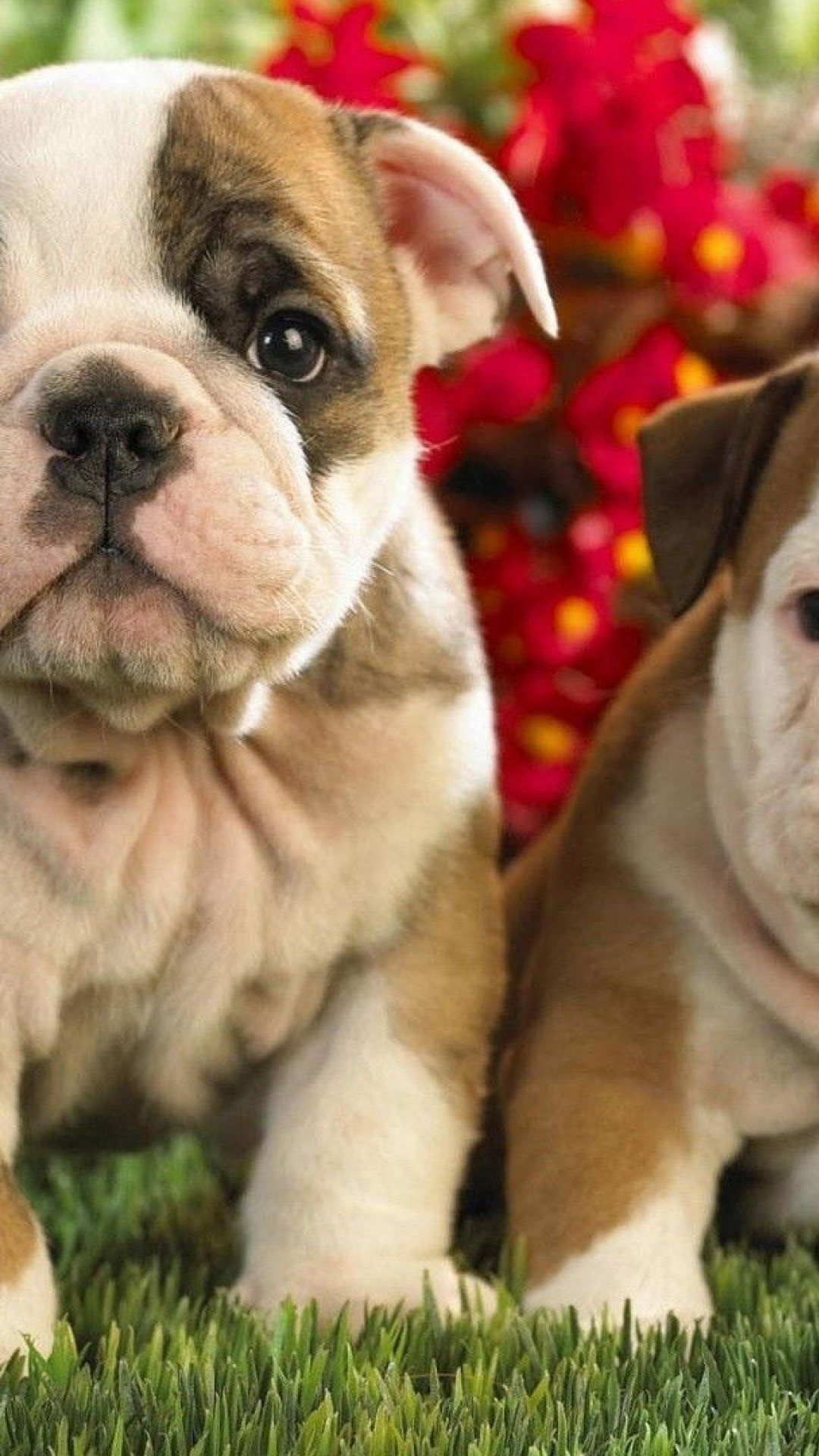 Cute Bulldog English And French Puppies Wallpaper For