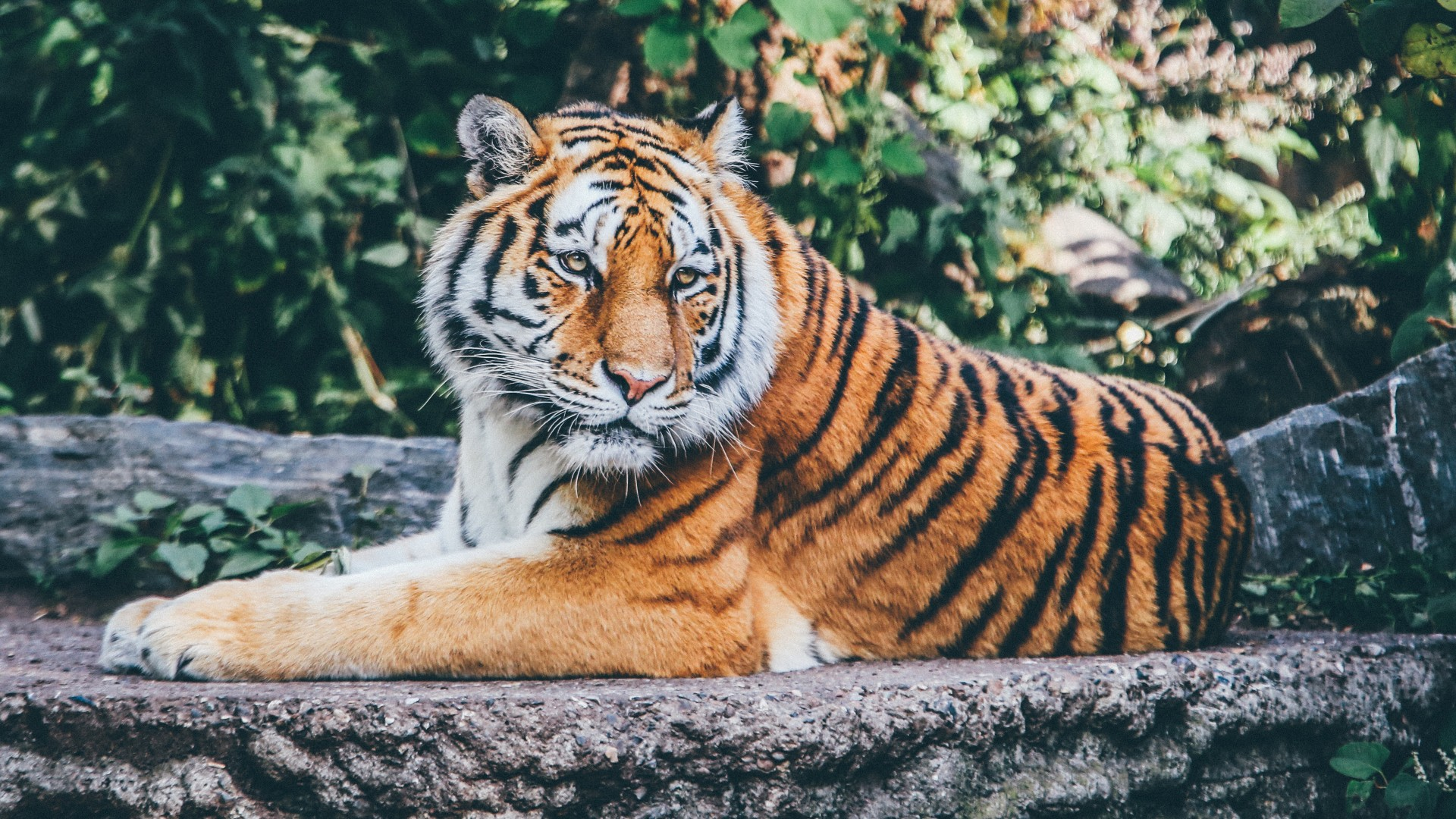 Download Beautiful Zoo Tiger Wallpaper In Hd Iphone 7 Plus Iphone