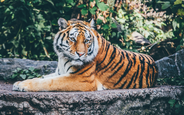 "download beautiful zoo tiger wallpaper in hd 15"" retina macbook pro"