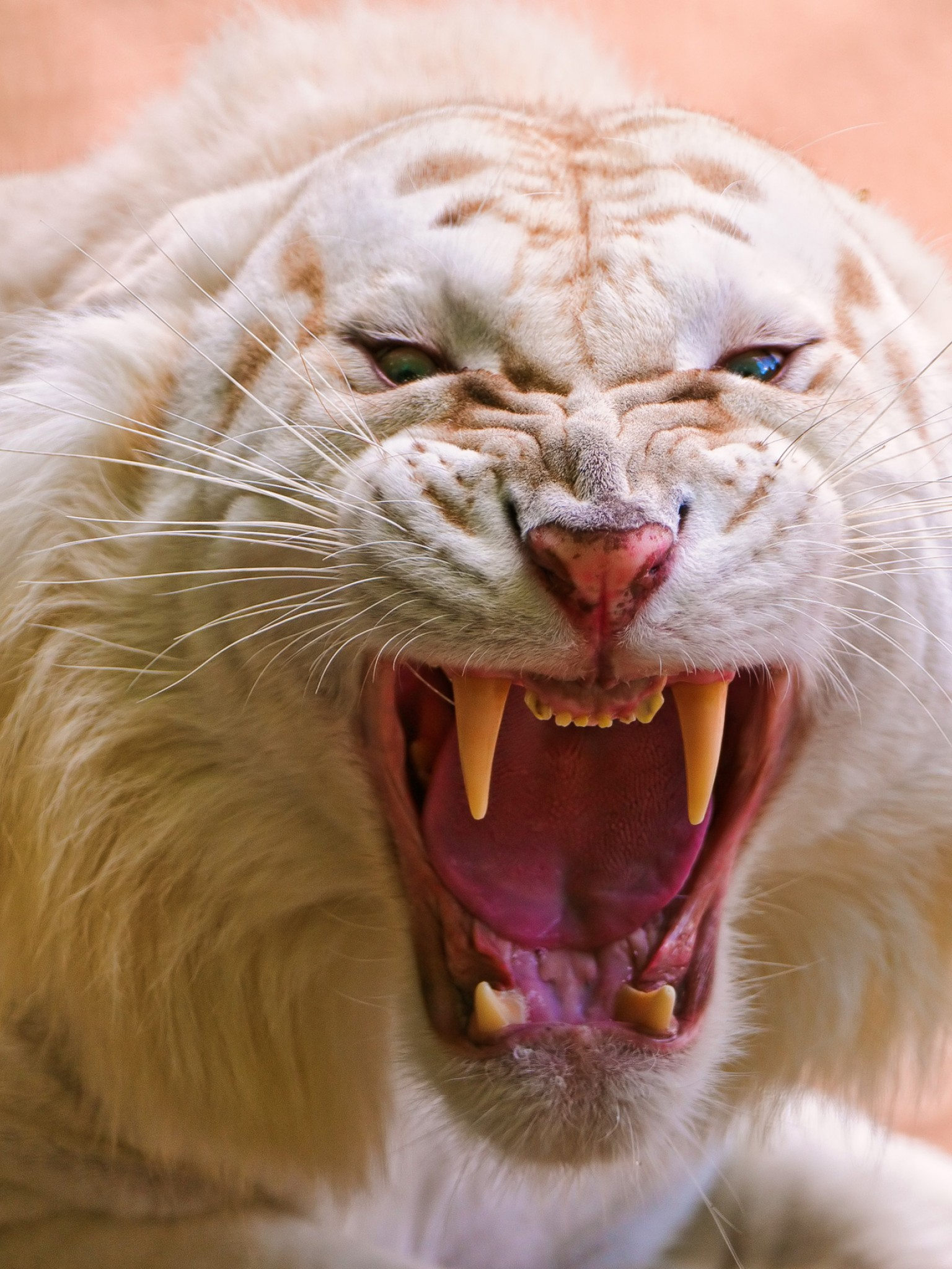 Download Free White Angry Tiger Roar Hd Wallpaper For Desktop And