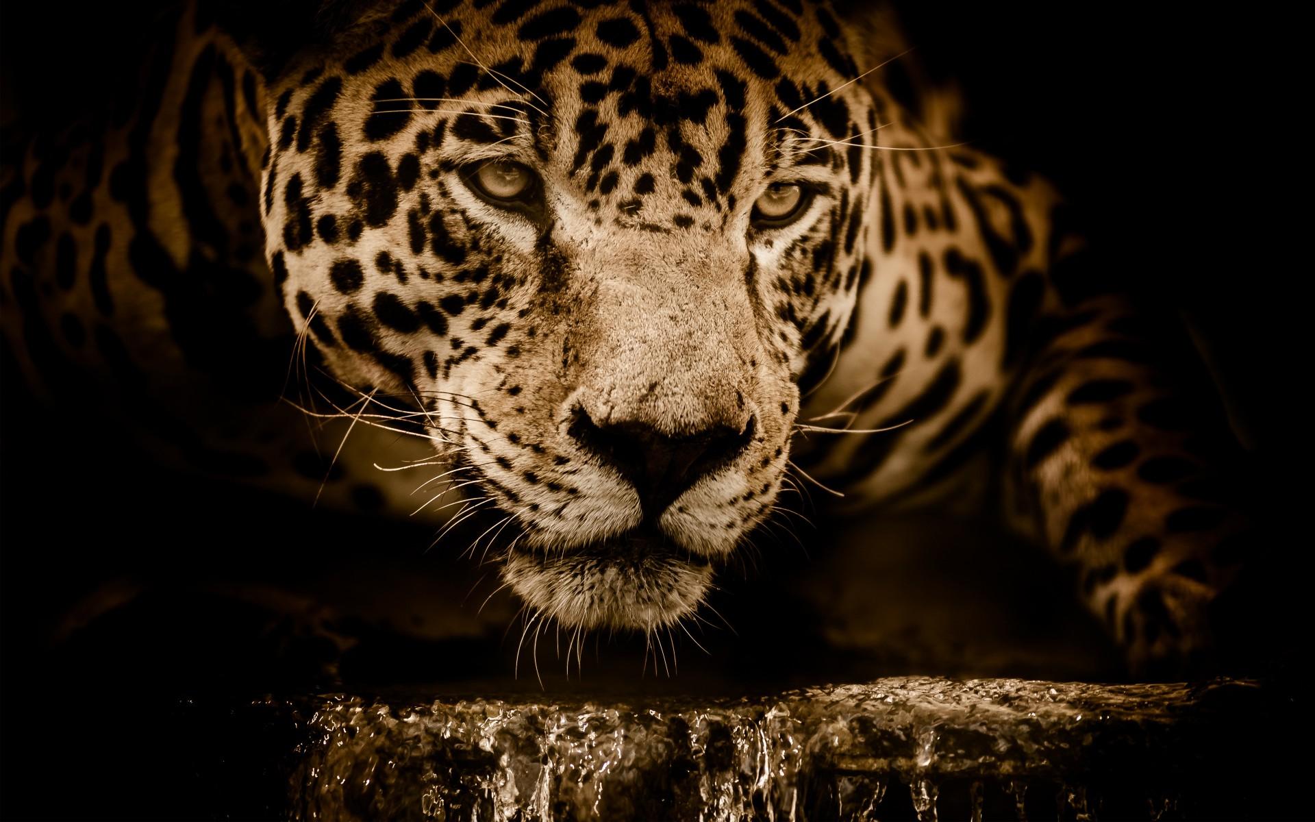 download jaguar cat wallpaper for desktop and mobile 1920x1200 - hd