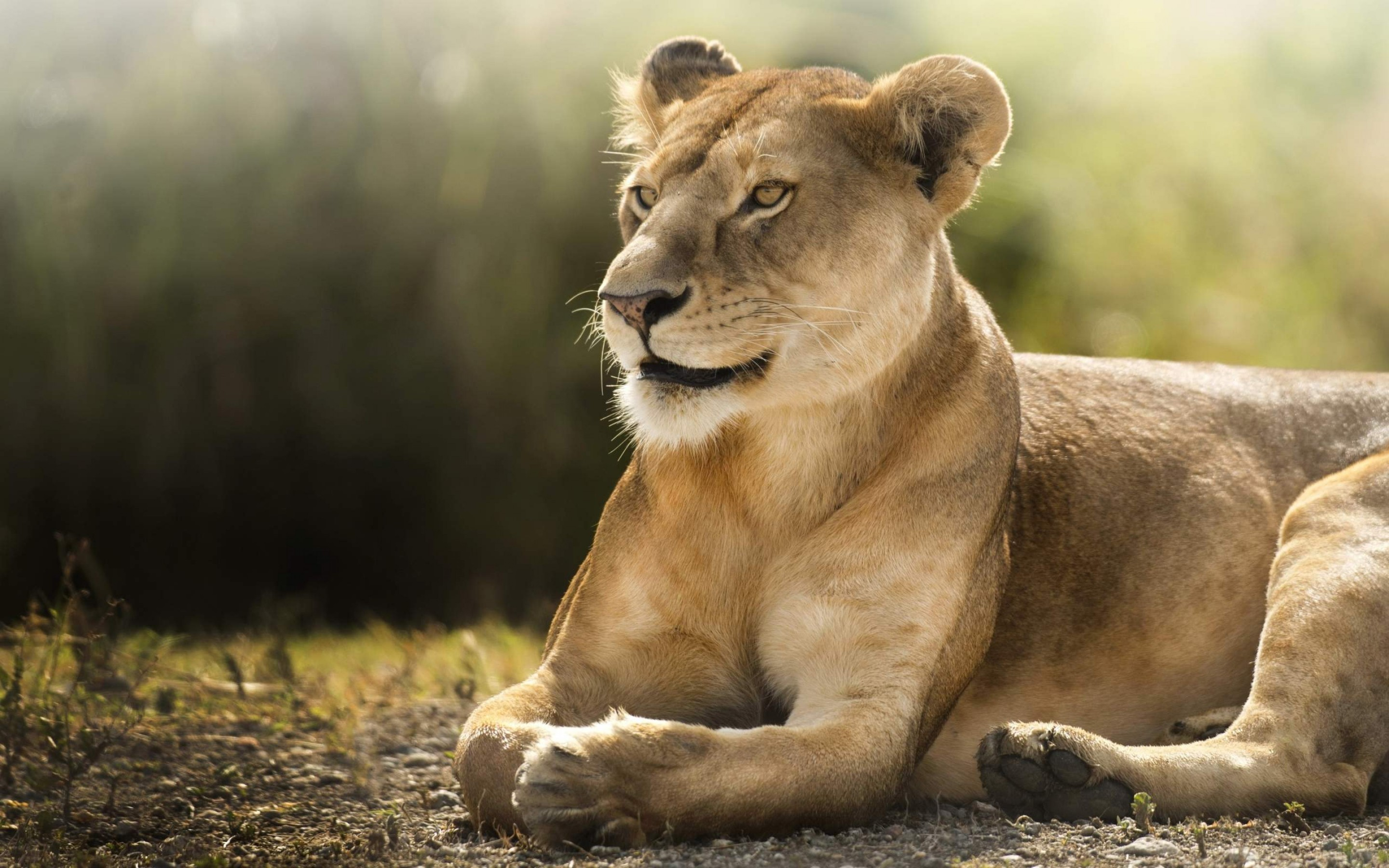 Cool Wallpaper Macbook Lion - 2880x1800  Perfect Image Reference_553675.jpg