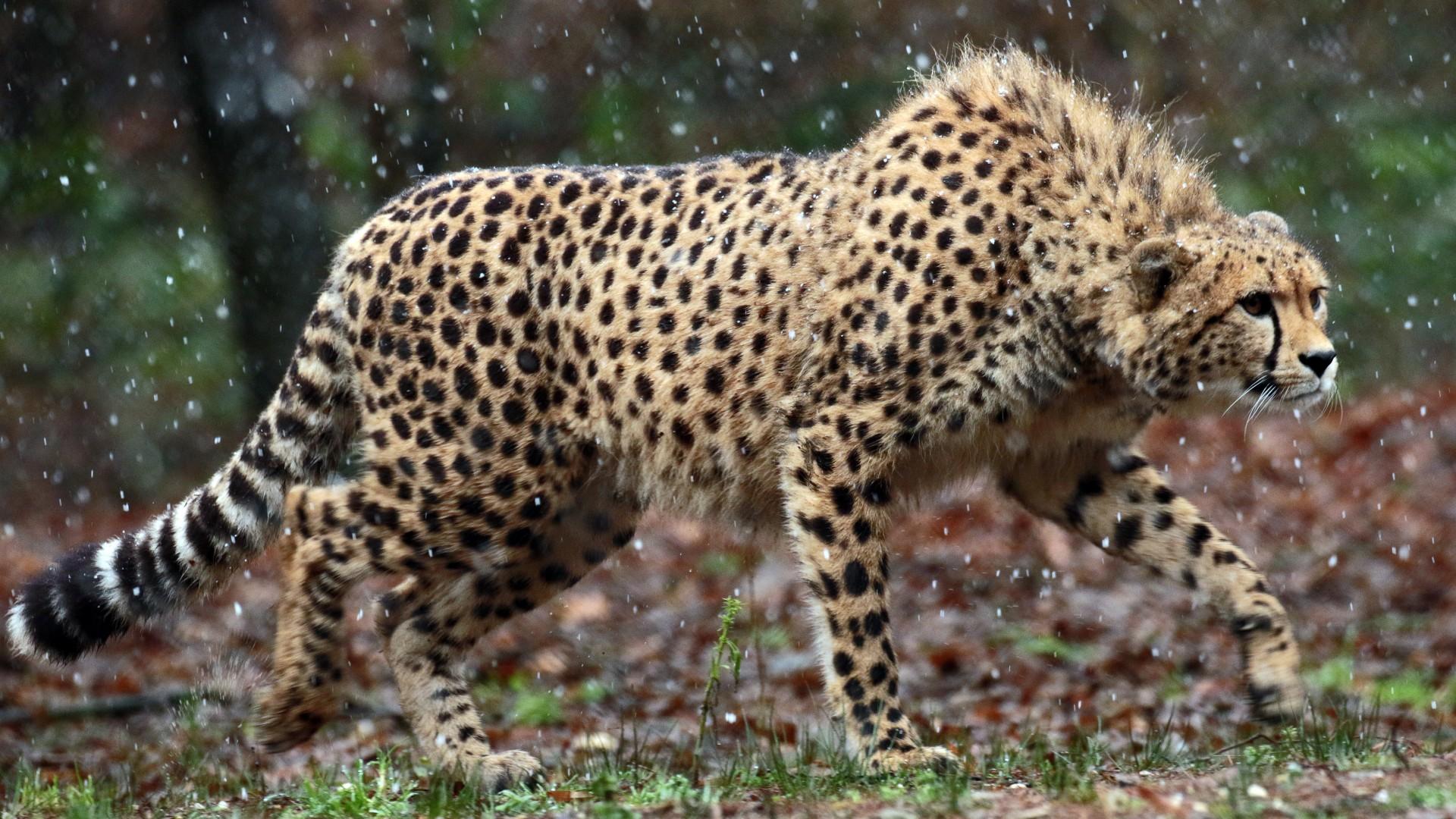 Hd Cheetah Wallpaper Free Download For Phone And Desktop Iphone 7