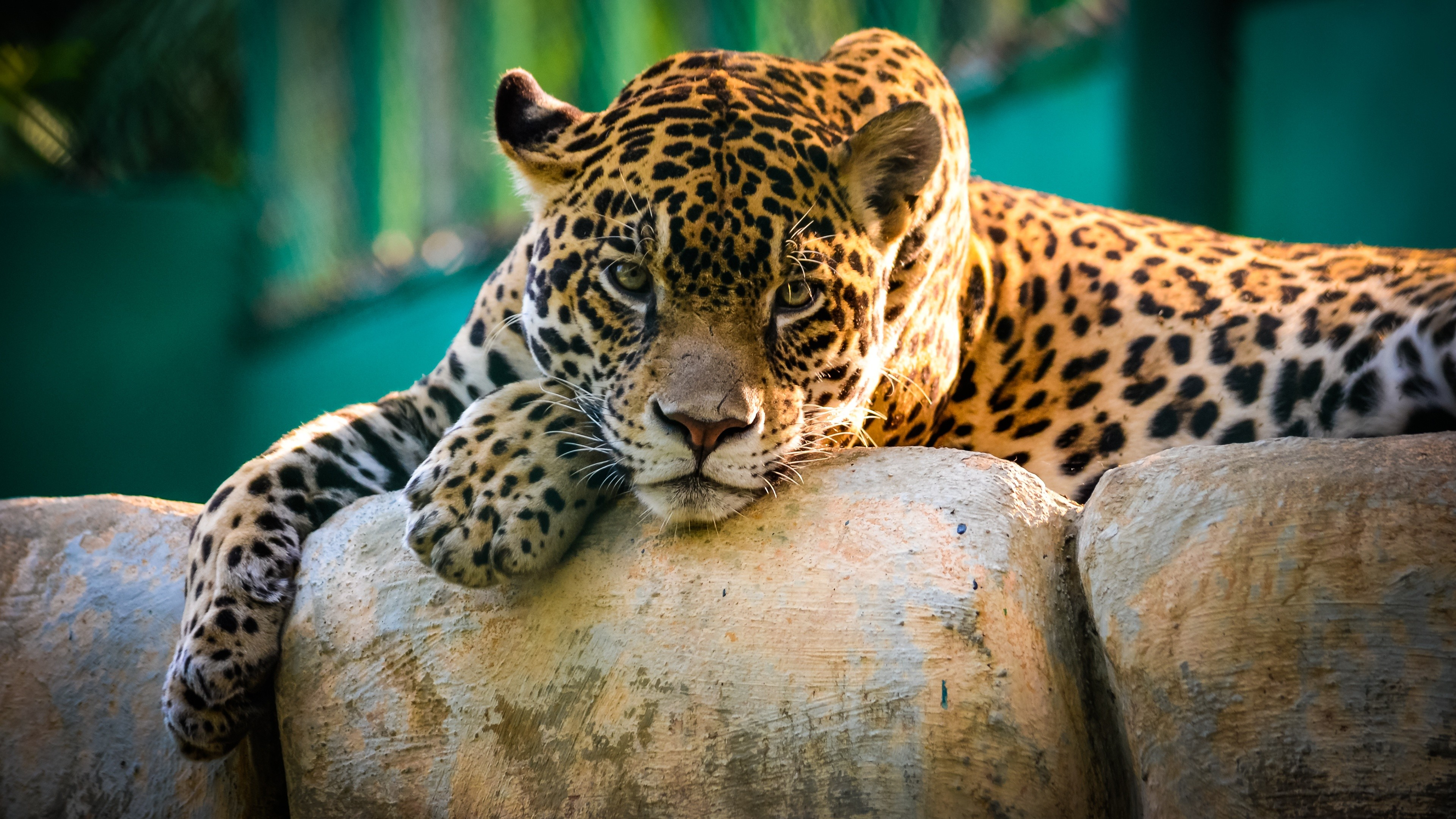 Image of: Horse Jaguar Animal Wallpaper 52dazhew Jaguar Animal Wallpaper For Desktop And Mobiles 4k Ultra Hd Hd