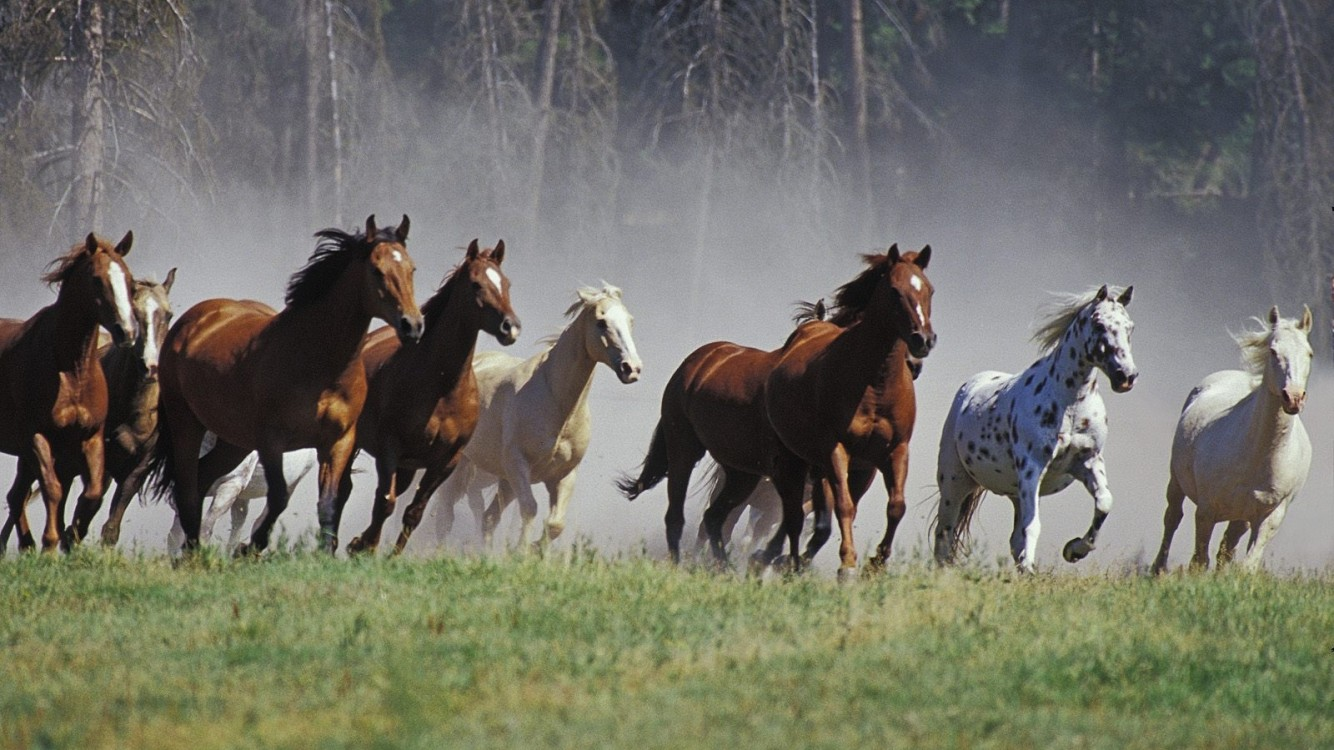 Seven Running Horses Hd Wallpaper Iphone 7 Iphone 8 Hd