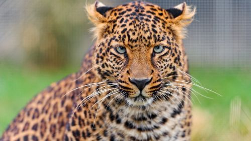 3D HD Leopard Wallpaper for Desktop and Mobiles