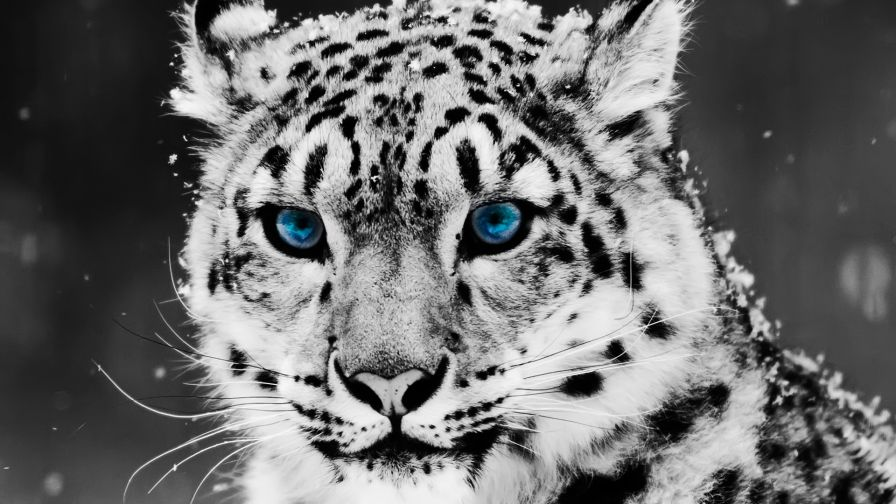 baby white tigers with blue eyes wallpapers for desktop and mobiles