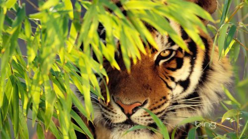 Wallpapers Tagged With Tiger Attack Wallpapersnet