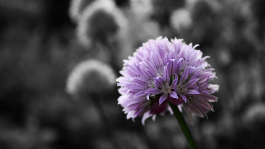 Black And White Flowers Hd Wallpaper Wallpapersnet