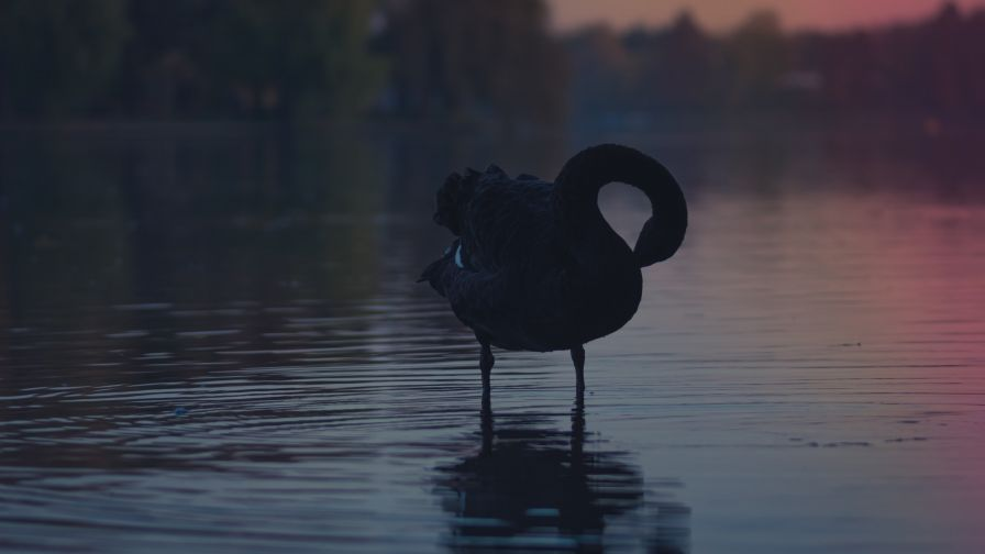 Black Swan Hd Wallpaper for Desktop and Mobiles