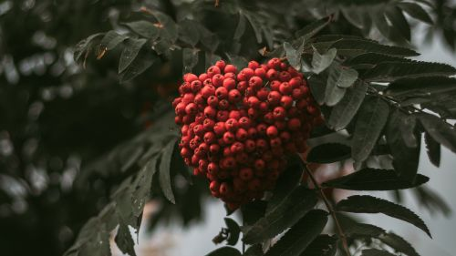 Bush of berries HD Wallpaper
