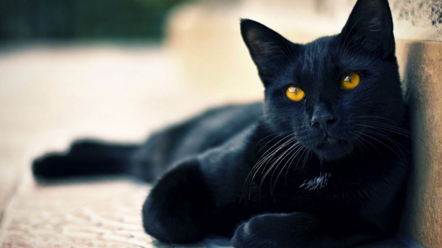 Cute Black cat Halloween Hd Wallpaper for Desktop and Mobiles
