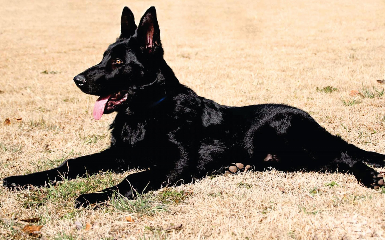 full black german shepherd - HD1800×1200
