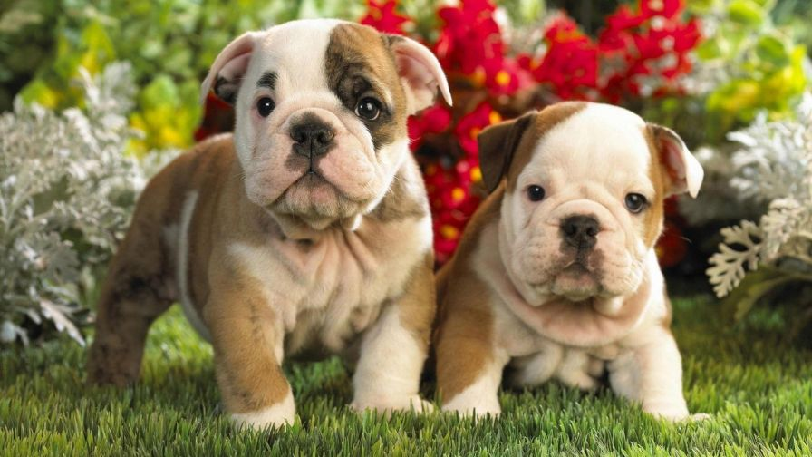 Cute Bulldog English And French Puppies wallpaper for Desktop and Wallpaper