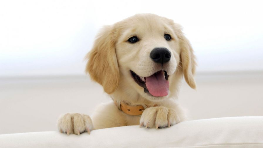 Cute Golden Retriever Puppies Hd Wallpaper for Desktop and Mobiles