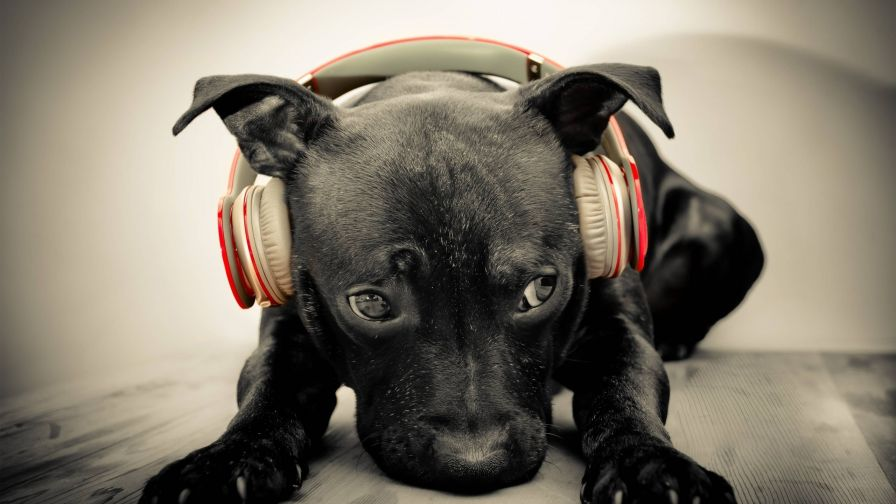 Cute Puppies Wearing Headphones Hd Wallpaper for Desktop and Mobiles