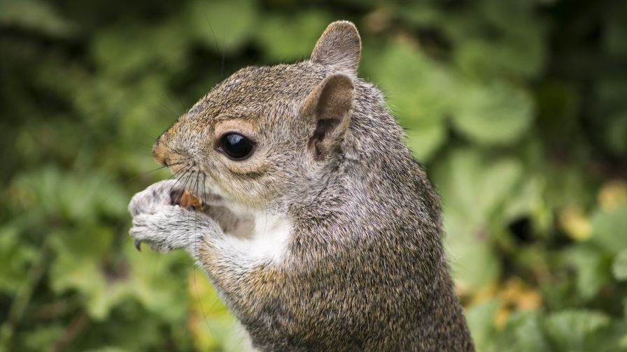 Cute Squirrel Eating An Acorn Hd Wallpaper for Desktop and Mobiles