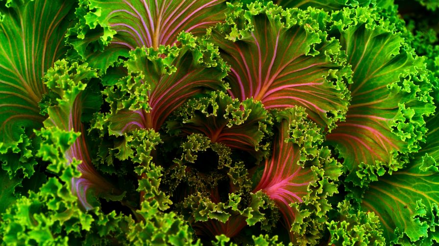 Download Free Colourful Lettuce Hd Wallpaper for Desktop and Mobiles