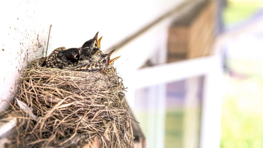 Download Free Cute Birds Nests Images Wallpaper for Desktop and Mobiles
