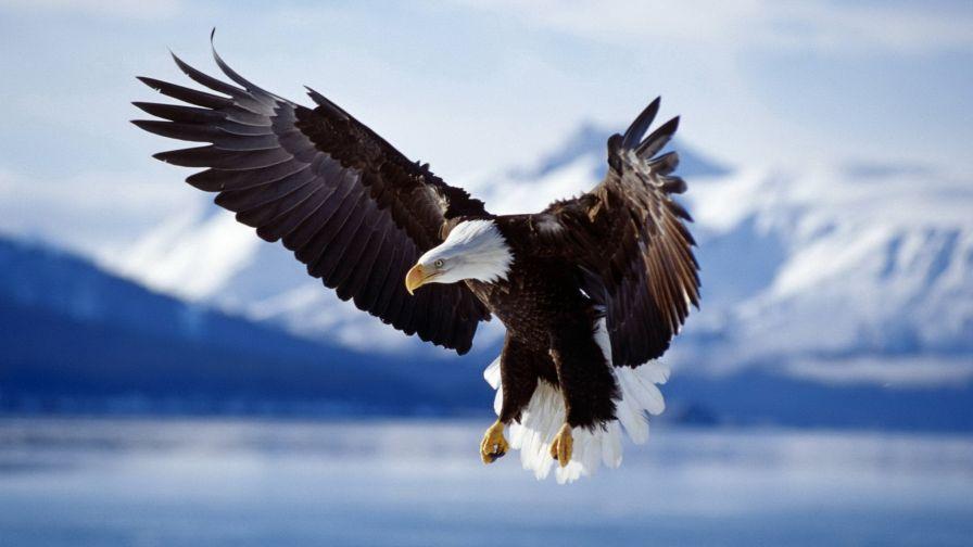 Download Free Flying Eagle Wallpaper for Desktop and Mobiles ...