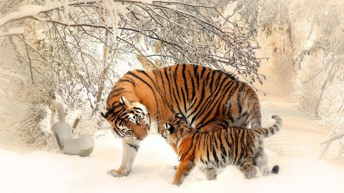 Download Free Full HD Tiger Family Wallpaper