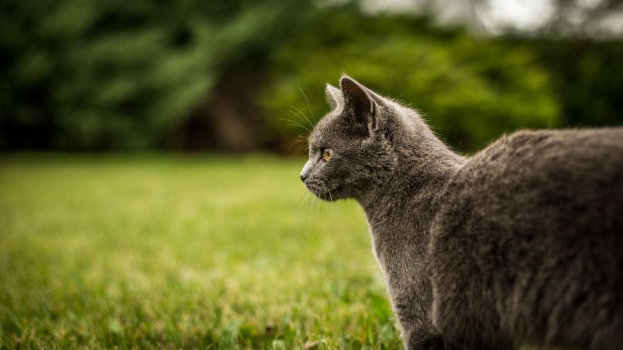 Download Free Grey Wild Cat Wallpaper for Desktop and Mobiles