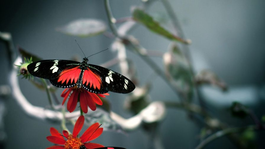 Download Free Red And Black Beautiful High Quality Butterfly Hd Wallpaper for Desktop and Mobiles