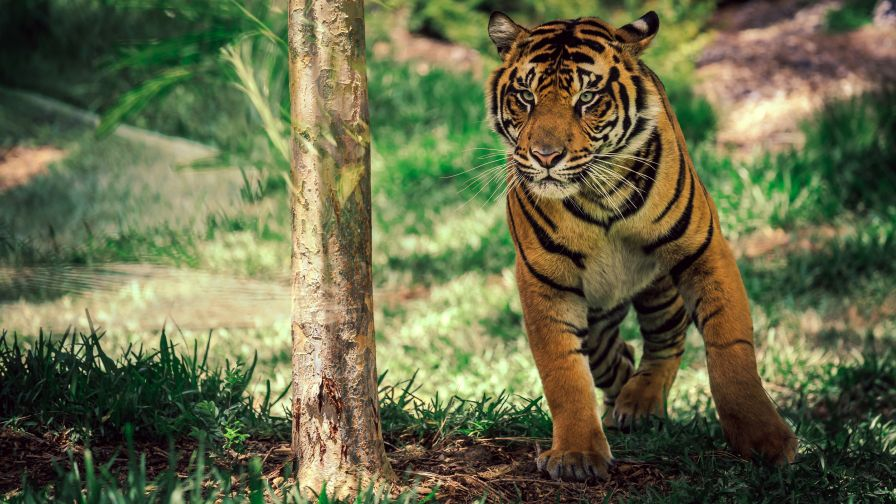 Download Free Wild Savanna Tiger Wallpaper for Desktop and Mobiles