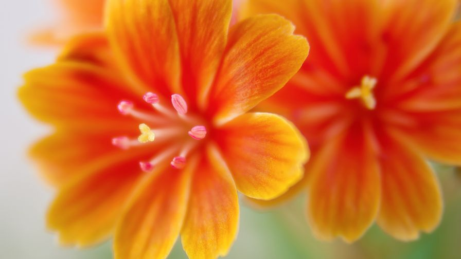 Download Lewisia Flowers Desktop and Mobile Wallpaper
