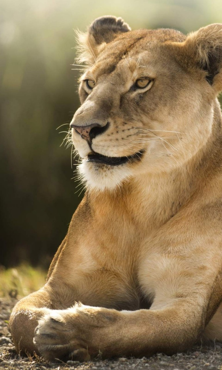 Free Download African Lion Wallpaper in HD