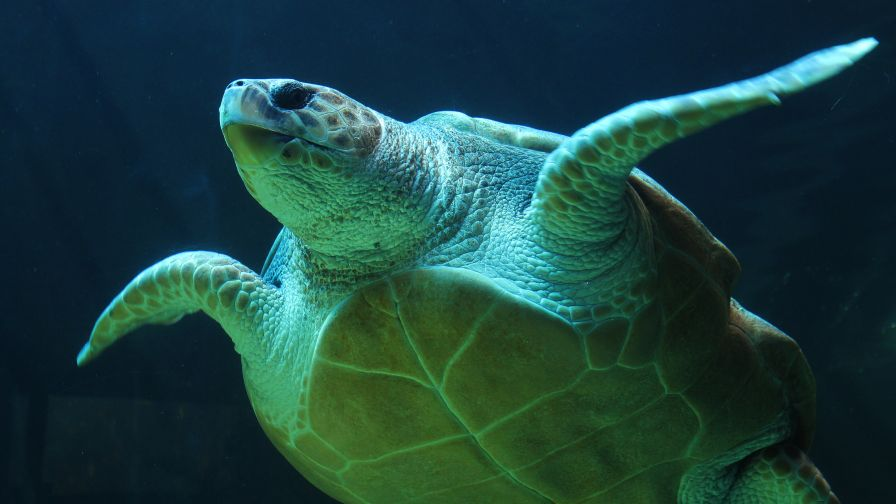 Green Sea Turtle Hd Wallpaper for Desktop and Mobiles