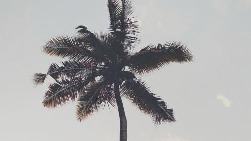 Huge palm tree HD Wallpaper