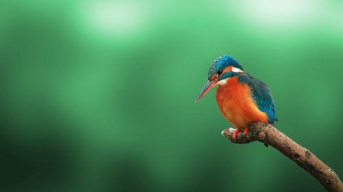 Kingfisher Bird 4K HD Wallpaper