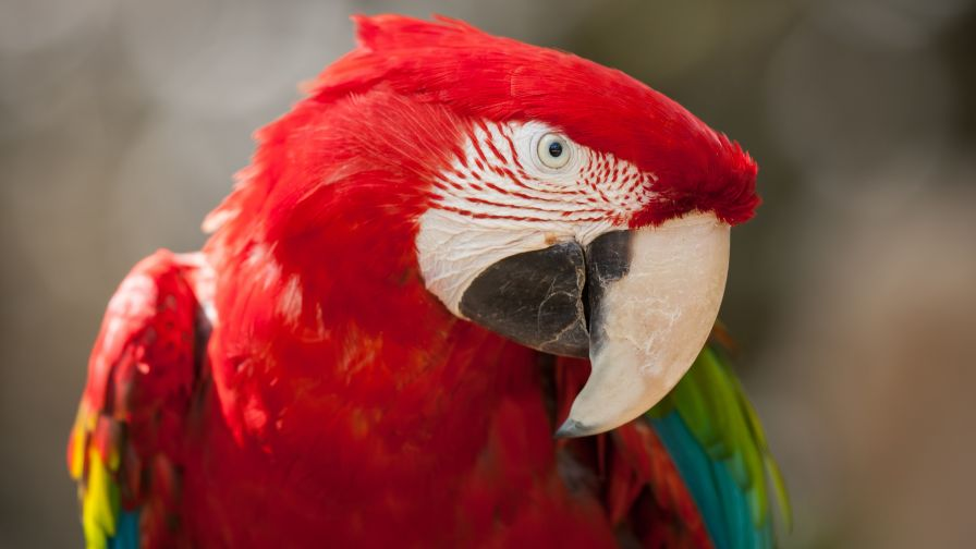 Macaw Red Green Parrot Wallpaper for Desktop and Mobiles