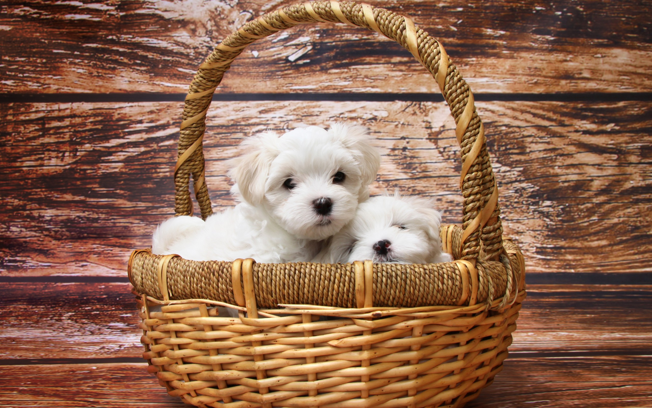 Maltese Cute Dog Puppy Wallpapers For Desktop And Mobiles 13 Retina