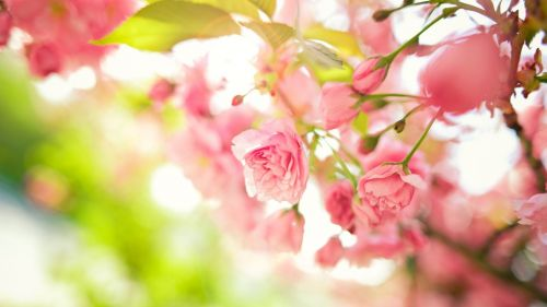 Pink spring flowers HD Wallpaper
