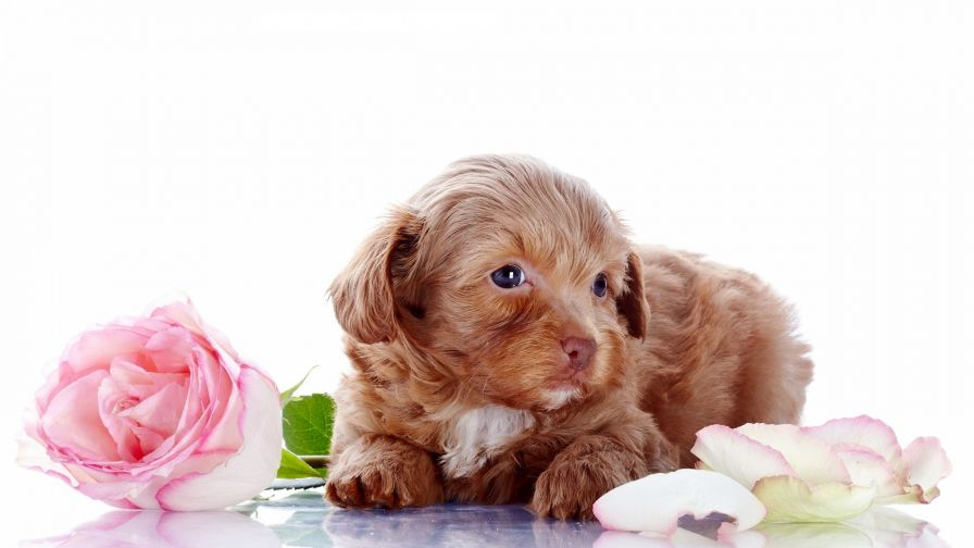Puppy Lying By Roses Wallpaper for Desktop and Mobiles