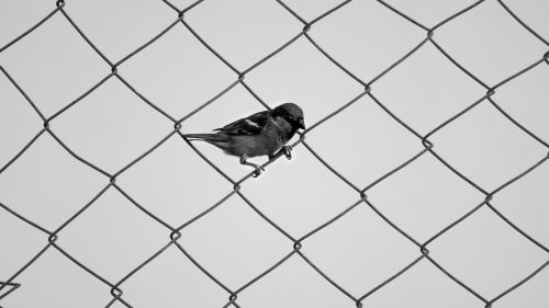 Sparrow standing on the fence HD Wallpaper