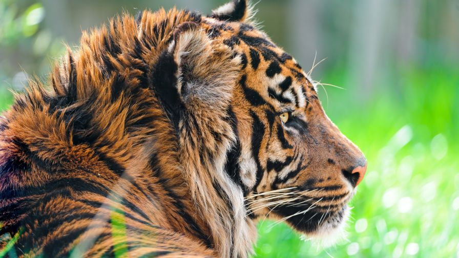 Sumatran Tiger Animal Wallpaper for Desktop and Mobiles