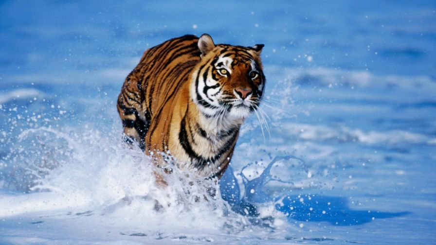 Tiger In Water Hd Wallpaper for Desktop and Mobiles