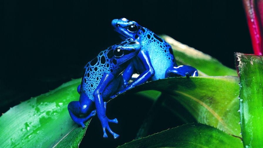 Two Blue Frogs Wallpaper for Desktop and Mobiles