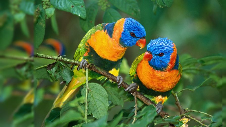 Two Parrots Wallpaper for Desktop and Mobiles