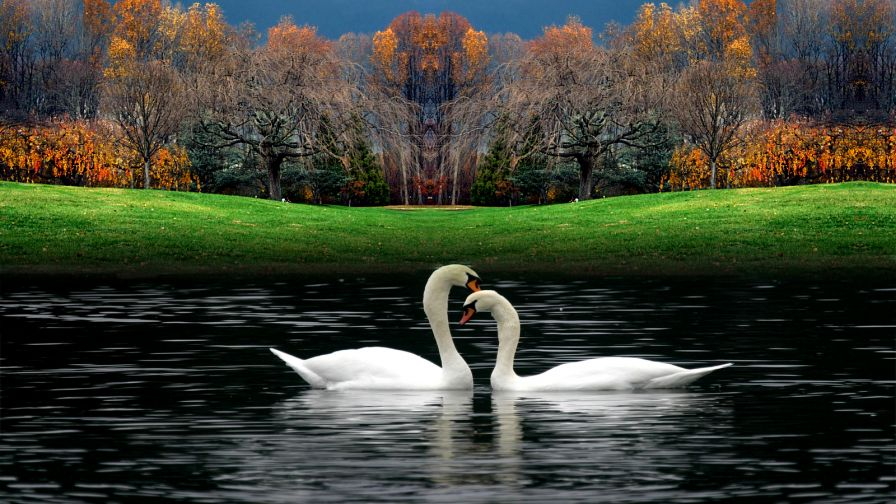 White Beautiful Swans Playing In Water Wallpaper for Desktop and Mobiles
