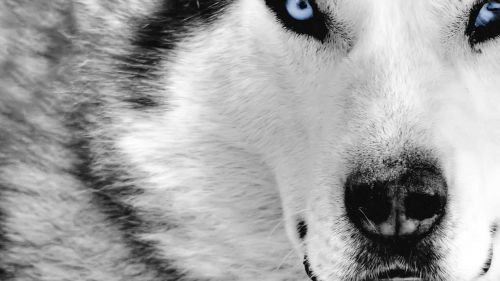 Wolf Close Up Face HD Wallpaper